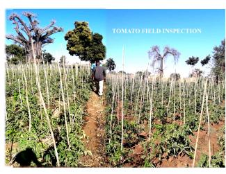 Tomato field-FAVOA