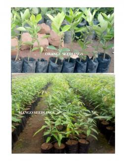 Fruit tree Seedlings